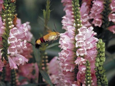 大透翅蛾(おおすかしば)                                            の意味