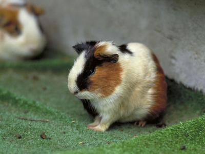 天竺鼠の画像 p1_23