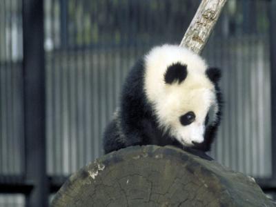 パンダ【panda】の意味 - 国語 ...