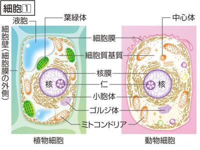 さい‐ぼう〔‐バウ〕【細胞】の意味
