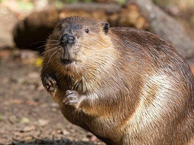 beaver(ビーバー)の意味 - goo国語辞書