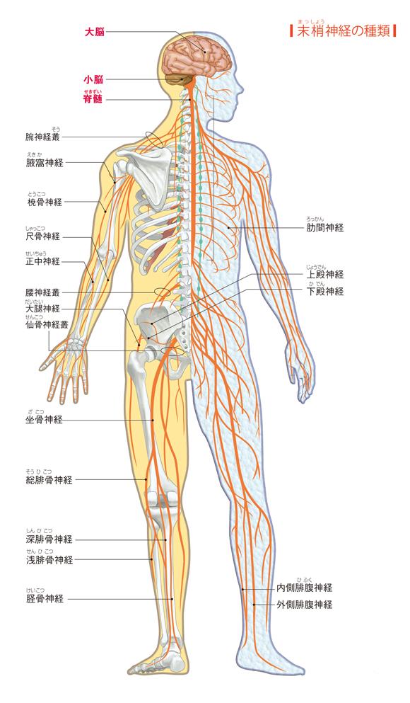 全身の神経網 - からだと病気のしくみ図鑑 - goo辞書