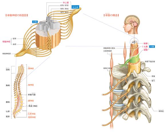 脊髄と脊髄神経のしくみ - からだと病気のしくみ図鑑 - goo辞書