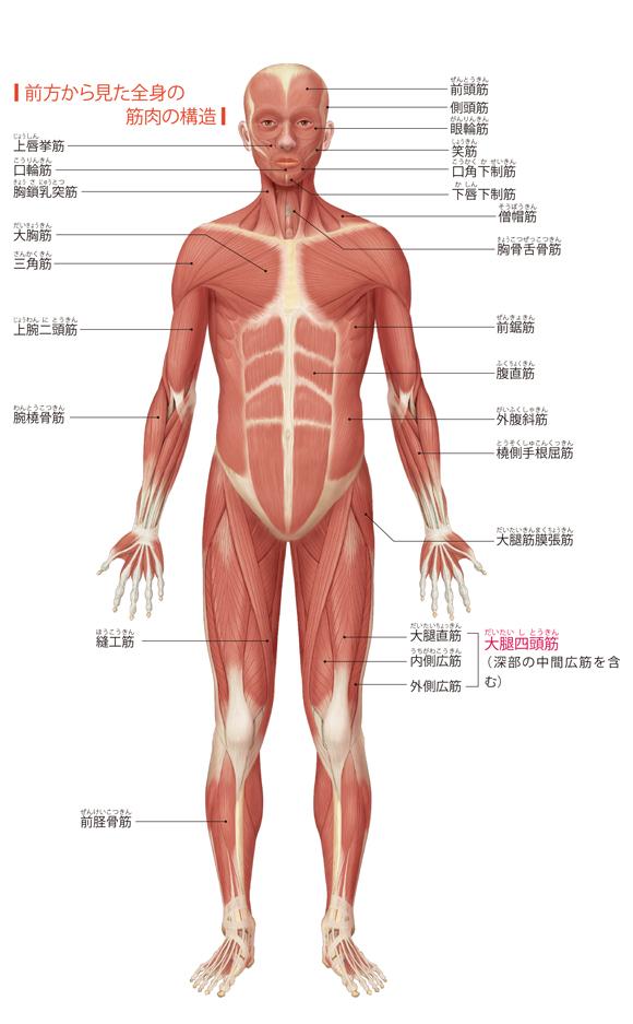 図解-前方から見た全身の筋肉の構造