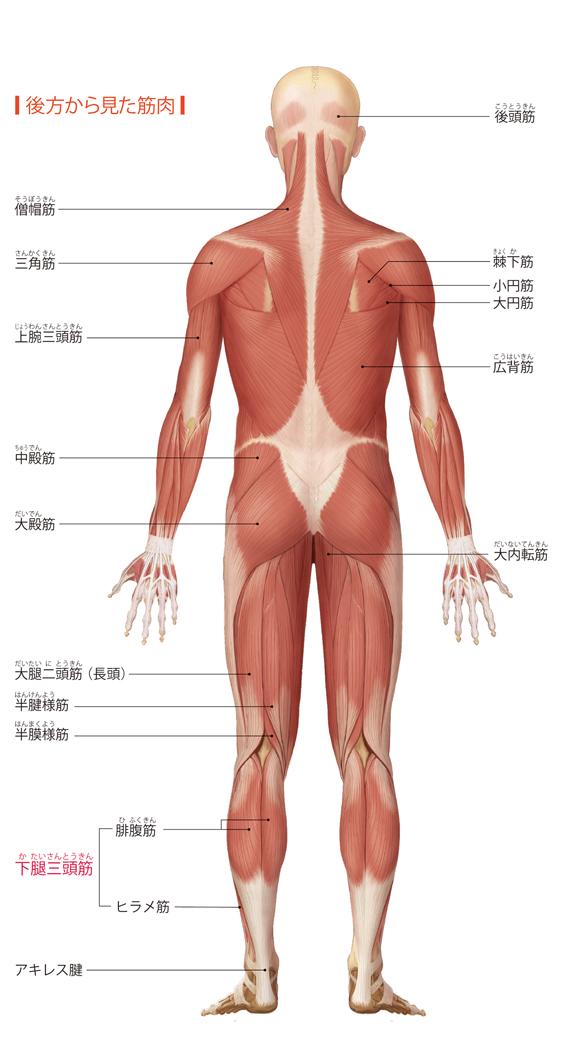 図解-後方から見た筋肉