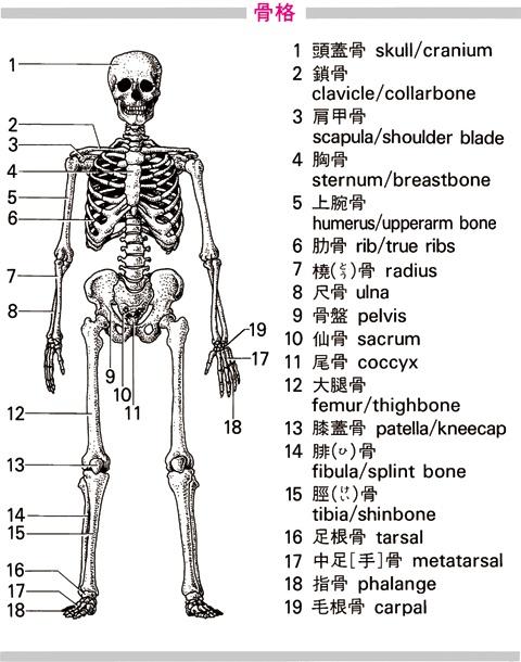 骨格を英語で訳す - goo辞書 英和和英